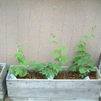 今年もゴーヤを植えました
